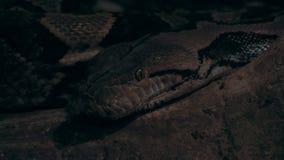 Closeup för BoaConstrictor stock video