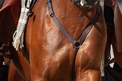 Closeup för bröstkorg för sadelhäst Arkivbilder