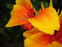Closeup för Canna lilja Arkivfoton