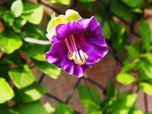 Closeup för Cobaea scandensblomma Royaltyfria Foton