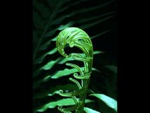 Closeup för Fiddleheadormbunke Arkivbild