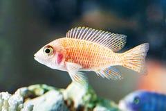 Closeup för fisk för fotoMalawi cichlids fotografering för bildbyråer
