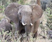 Closeup för främre sikt för elefant Arkivfoto