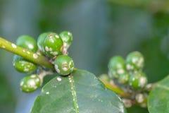 Closeup för frukter för gräsplan för kaffeböna med den inte mogna koschenillepidemin - - Coffeaarabica royaltyfri foto