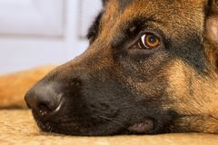 Closeup för herdehund royaltyfri bild