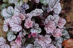Closeup för Heuchera`-Sugar Frosting ` i sommarträdgård arkivfoton