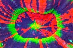 Closeup för Homophyllia australis korallmun arkivbild