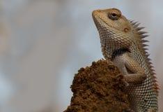 Closeup för Indan kameleont (ödla) Fotografering för Bildbyråer