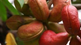 Closeup för indierAyurveda medicinsk frukter lager videofilmer