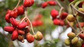 Closeup för indierAyurveda medicinsk frukter stock video