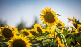 Closeup för Kansas solrosfält Royaltyfri Fotografi