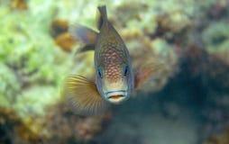 Closeup för korallfiskwrasse Undervattens- foto för korallrev Tropisk fisk i natur Tropisk kust som snorklar eller dyker fotografering för bildbyråer