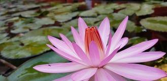 Closeup för Lotus blomma Arkivfoton