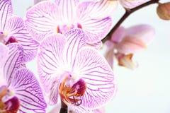 Closeup för Phalaenopsisorkidéfilial Royaltyfria Bilder