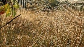 Closeup för rengöringsduk för spindel` s med droppar av dagg på gryning Hus av spindeln stock video