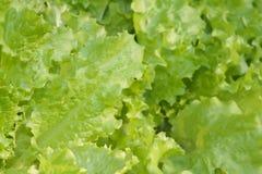 Closeup för Salat gräsplangrönsallat Arkivbild