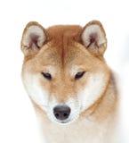 Closeup för Shiba inuframsida på vit bakgrund Fotografering för Bildbyråer