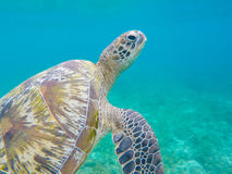 Closeup för sköldpadda för grönt hav i grunt havsvatten Havssköldpaddacloseup Royaltyfri Fotografi
