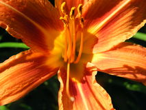Closeup för skott för blommaHemerocallisvariationer Royaltyfri Fotografi