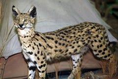 Closeup för skott för huvud för stor katt för Leptailurus serval Royaltyfria Bilder