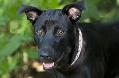 Closeup för svart hund Arkivbilder