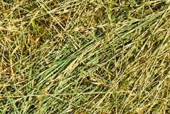 Closeup för torrt gräs Royaltyfria Foton
