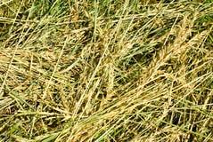 Closeup för torrt gräs Royaltyfria Bilder