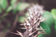 Closeup för växt för taggEuphorbiamilii fotografering för bildbyråer