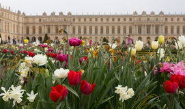 Closeup för Versailles trädgårdtulpan Royaltyfri Bild