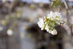 Closeup för vit filial för Sakura träd eller för körsbärsröd blomning Fotografering för Bildbyråer