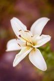 Closeup för vit lilja mot bokeh Begrepp av renhet Arkivbilder