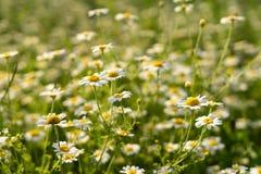 Closeup f?r blommor f?r f?ltkamomillar arkivbild