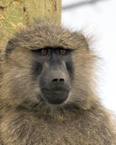 Closeup face of adult baboon with Acai tree trunk in background Stock Photography