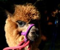 Closeup of a face of alpaca royalty free stock photos