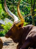 Closeup of the face of a ankole watusi, cow head with large horns, popular breed from America