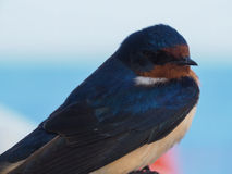 Closeup of face of barn swallow,  Hirundo rustica Royalty Free Stock Image