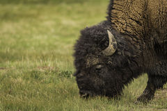 Closeup face of Bison during eating grass at Yellowstone Stock Photo