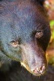 Closeup Face of Brown Bear Looking Up. Closeup of the face of a big brown bear looking into camera stock photos