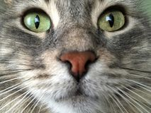 Closeup face of a cat royalty free stock images