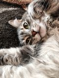 Closeup face of a cat lying on bed stock images