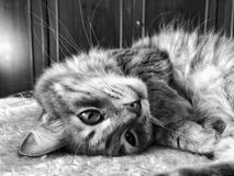 Closeup face of a cat lying on bed Royalty Free Stock Images