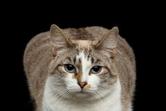 Closeup face Fat White Cat, Blue Eyes Isolated Black Background Stock Photography