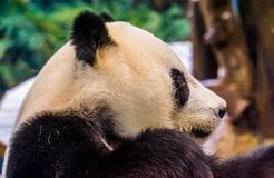 Closeup of the face of a giant panda bear from the side, Vulnerable animal specie from Asia royalty free stock image