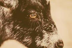 Closeup face of goat Royalty Free Stock Photos