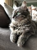 Closeup face of a gray cat sitting on a sofa royalty free stock images