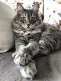 Closeup face of a gray cat sitting on a sofa royalty free stock photos