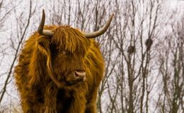 Closeup of the face of a highland cattle, scottish cow, popular domesticated farm animal. A Closeup of the face of a highland cattle, scottish cow, popular stock image