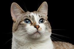 Closeup face Hope White Cat, Blue Eyes Isolated Black Background Stock Images