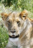 Closeup of a face of lion Royalty Free Stock Image