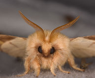 Closeup of the face of a moth Stock Image